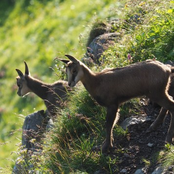 Wildlife spotting: mountain goats (chamois)