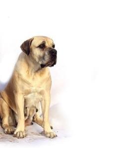 Growth chart mastiff also puppy weight rh enlpatt