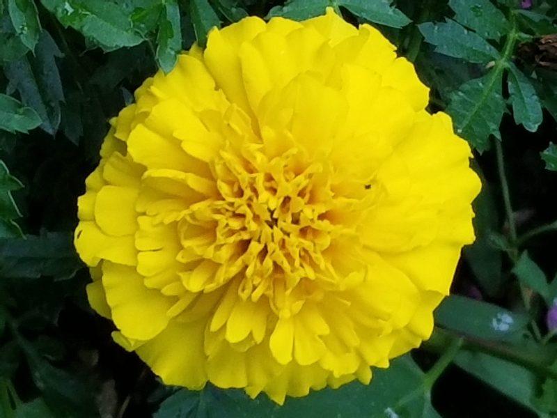 Chrysanthemum photo by Belynda Wilson Thomas