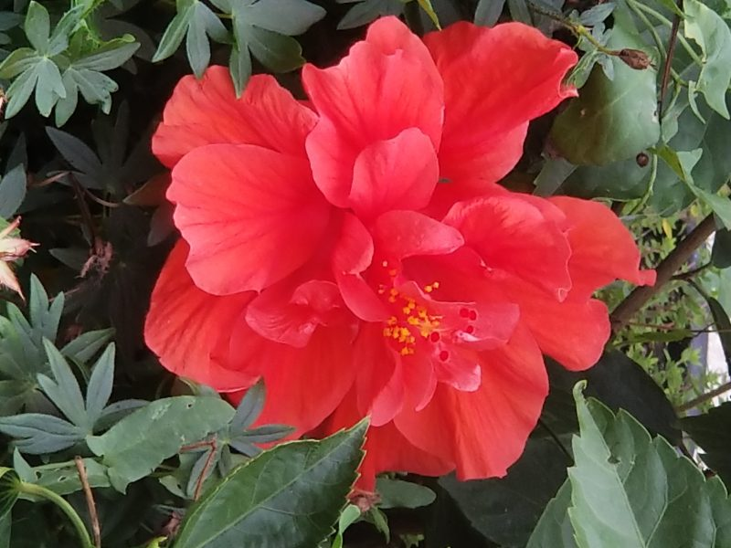 Noble Questions - Photo of hibiscus flower by Belynda Wilson Thomas