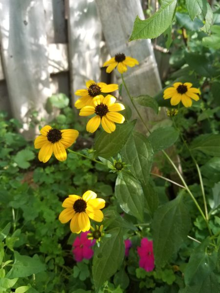 Photo of black eyed susan by Belynda Wilson Thomas