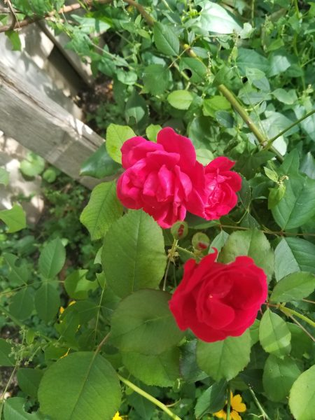 Christianity Made the Modern World Photo of red roses by Belynda Wilson Thomas Sept 3 2018