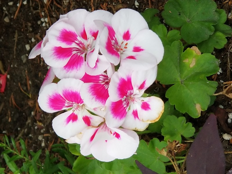 Be True To Your Values - photo of Geranium by Belynda Wilson Thomas