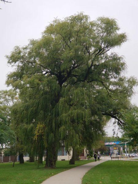 Milestones - Photo of Weeping Willow Tree by Belynda Wilson Thomas