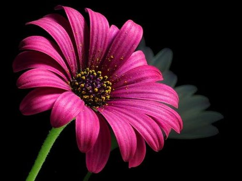 Stock photo of pink daisy.