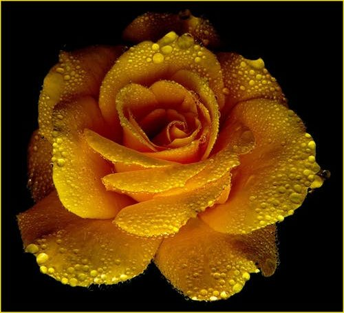 Stock photo of yellow rose.