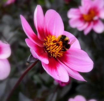 Bee on pink flower stock photo