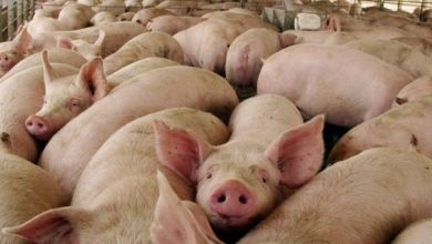 Photo of Manifestación contra la proliferación de granjas industriales porcinas en Zamora