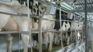 Photo of Desaparecen 179 ganaderos de ovino de leche en Castilla y León
