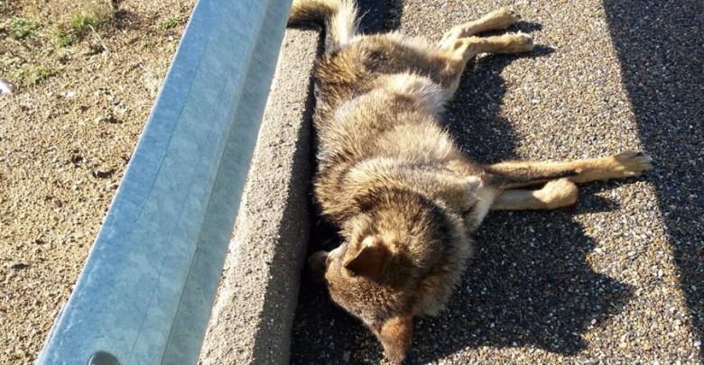Photo of Alertan del peligro que supone la autovía A-52 para los lobos de la zona