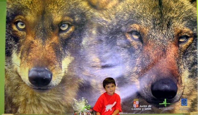 Photo of El Centro del Lobo Ibérico supera los 100.000 visitantes desde su apertura