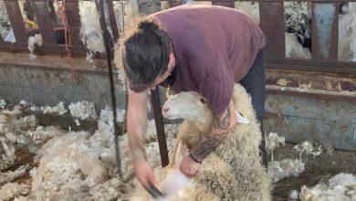 Photo of Los ganaderos de las Cooperativas muy preocupados por la necesidad del esquileo