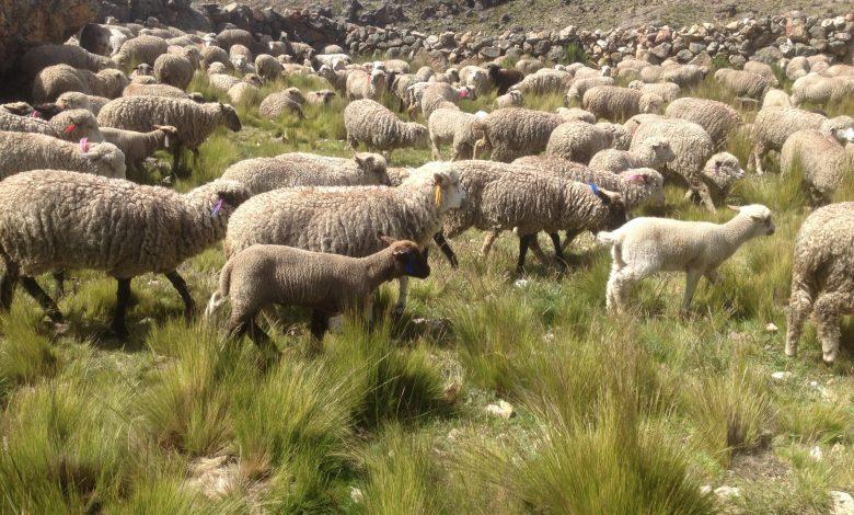 Photo of UCCL considera ridícula la ayuda para ovino – caprino del Ministerio por el COVID-19