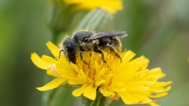 Photo of El veneno de las abejas es capaz de destruir las células agresivas del cáncer de mama