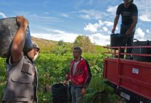 Photo of La vendimia, a punto de finalizar en Castilla y León con 287'5 millones de kilos, un 12% más que el año anterior