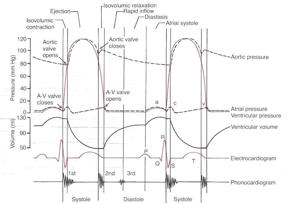 medium resolution of ventricular cycle