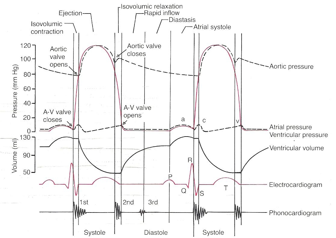 hight resolution of ventricular cycle