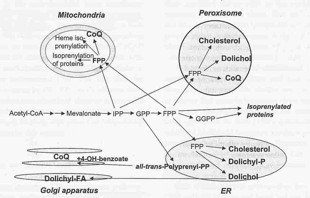 medium resolution of endogenous synthesis of coenzyme q in eukaryotes 2007
