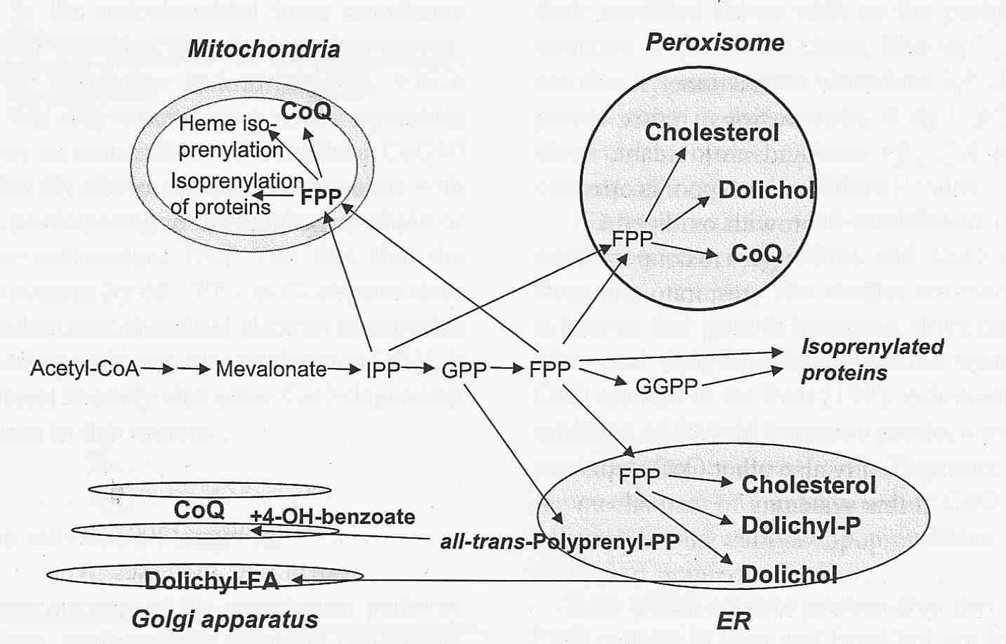 hight resolution of endogenous synthesis of coenzyme q in eukaryotes 2007