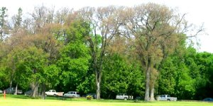 Three trees that look blighted by Dutch Elm Disease