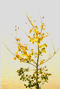 A sapling with bright yellow leaves as well as healthy green