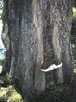 Ganoderma Adspersum or Artist's Fungus, a dark, bracket-like fungus with a white edge, pictured here on a tree trunk.