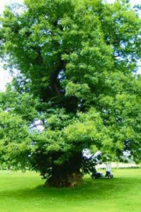 A large tree on a golf-course