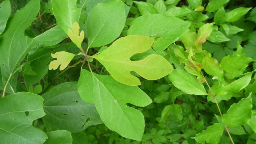 different leaf shapes pocono image