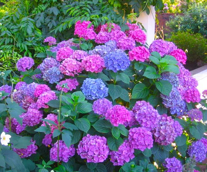 Ortensia rampicante  Piante da giardino