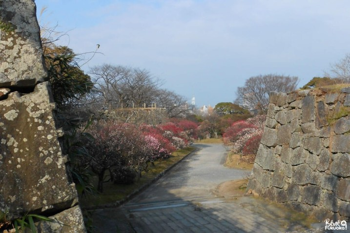 Pruniers au parc Maizuru, Fukuoka