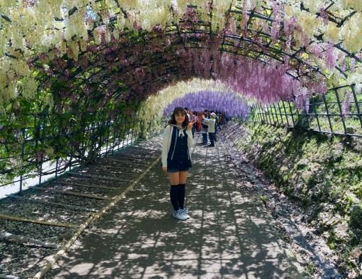 Sous le tunnel de glycines, au jardin Kawachi Fuji-en