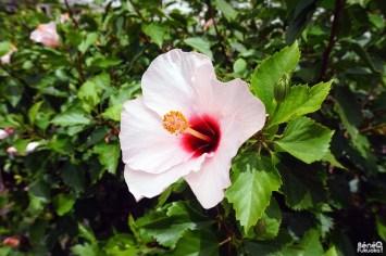 Hibiscus rose, Utopia Farm, Miyakojima