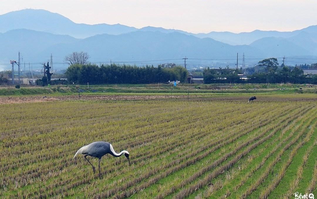 Grue à Izumi, terre de migration, Kagoshima