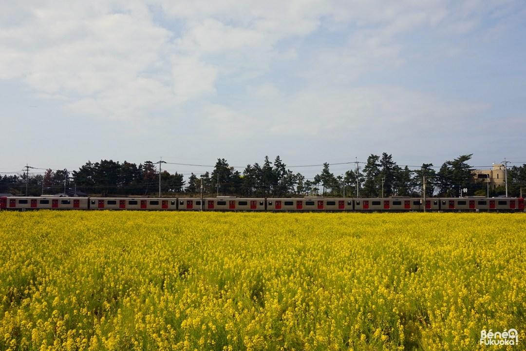 Champs de colza à Fukuyoshi