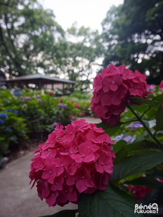 Jardin d'hortensias, sanctuaire Hakozaki, Fukuo