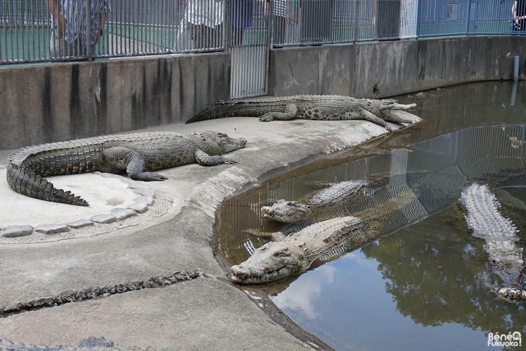 Crocodiles de l'Oniyama Jigoku, l'enfer de la montagne aux démons, Beppu