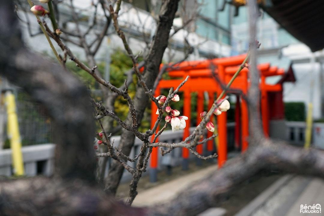 Pruniers au Sanctuaire Kagami Tenmangû, Fukuoka