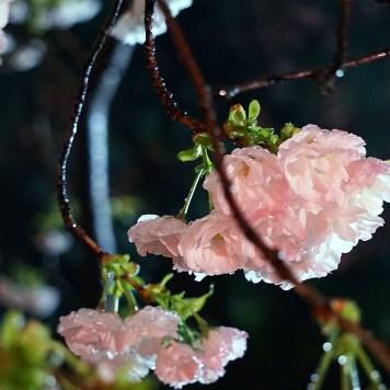 cerisiers-fukuoka-light-up