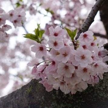 Cerisiers au parc Maizuru Fukuoka