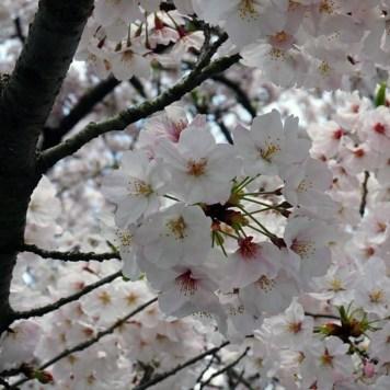 Temple Sesshin-in et son cerisier