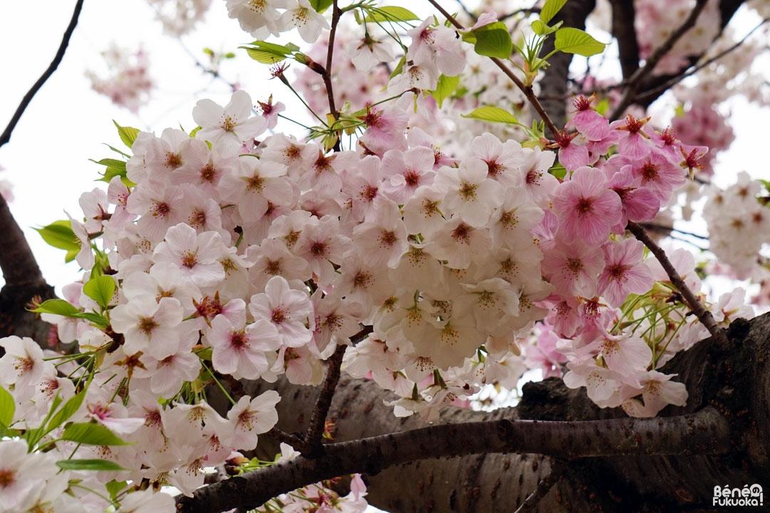 Les cerisiers du parc Tenjin-Chûô, Fukuoka