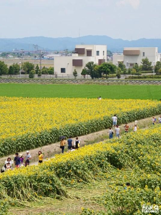 Le jardin de tournesols à Yanagawa