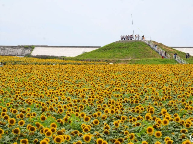 Le jardin de tournesols de Yanagawa