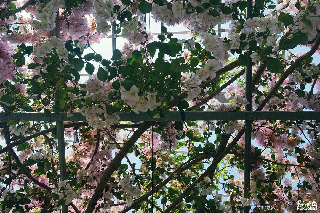Tunnel de bougainvilliers, Utopia Farm, Miyakojima