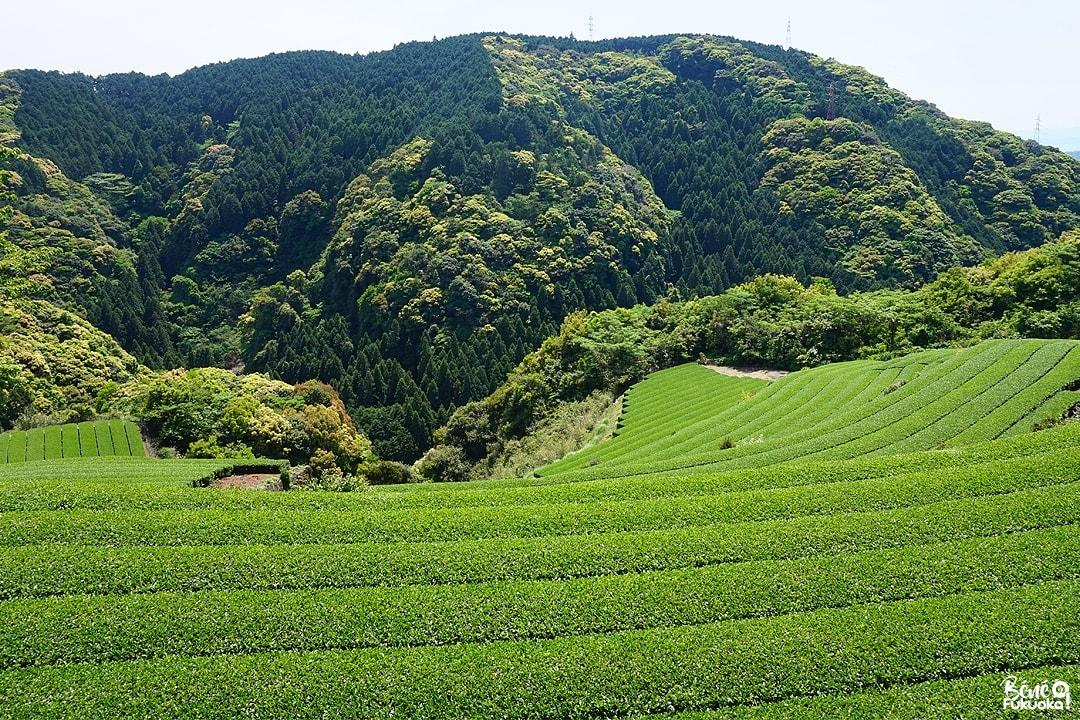 Champs de thé à Higashi-Sonogi, Nagasaki