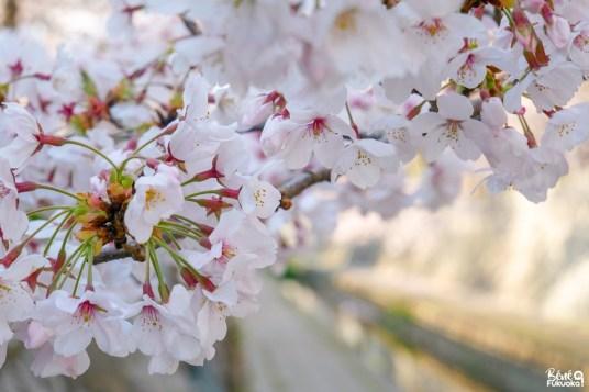 Fleurs de cerisiers à Fukuoka
