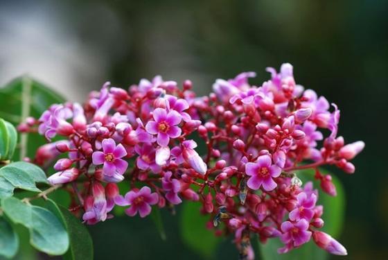 Kết quả hình ảnh cho Trị ho bằng hoa khế