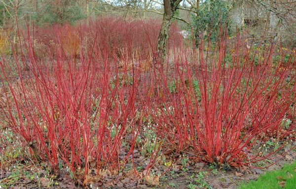 red twig dogwood - featured plant