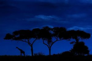 AAEBenny-Rebel-Fotosafari-Tansania-Giraffe