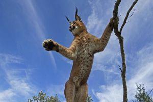 AAO-Benny-Rebel-Fotoreise-Suedafrika-KarakalLuchs